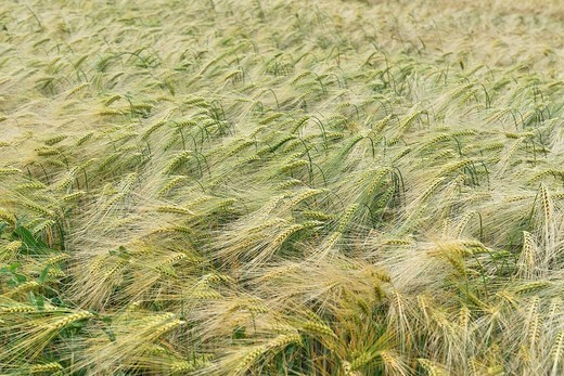 Barley Hordeum vulgare, in a field : Stock Photo