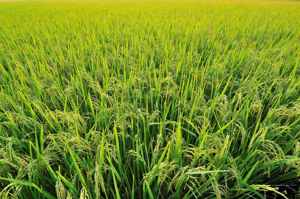 Stock Photo: 1848R-517470 Rice field, Vietnam, Southeast Asia