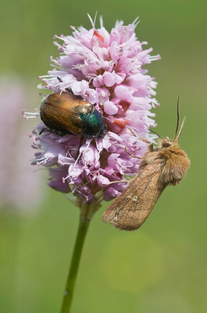 Stock Photo: 1848R-517966 Garden Chafer Phyllopertha horticola and a spinner moth on Fleece Flower Polygonum affine