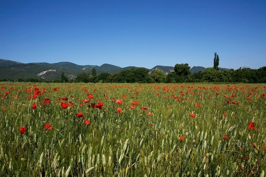 Wheat field with poppies near Le Pegu, Provence, France, Europe : Stock Photo