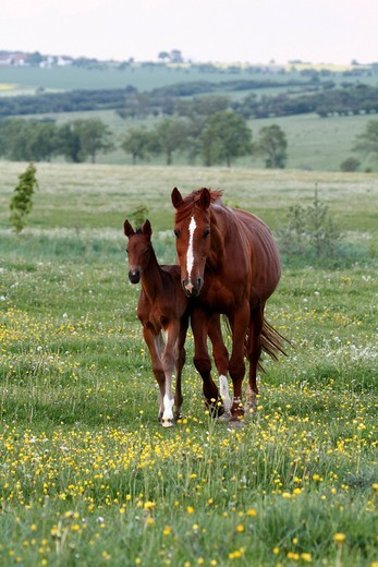 Horse and foal grazing in a meadow : Stock Photo