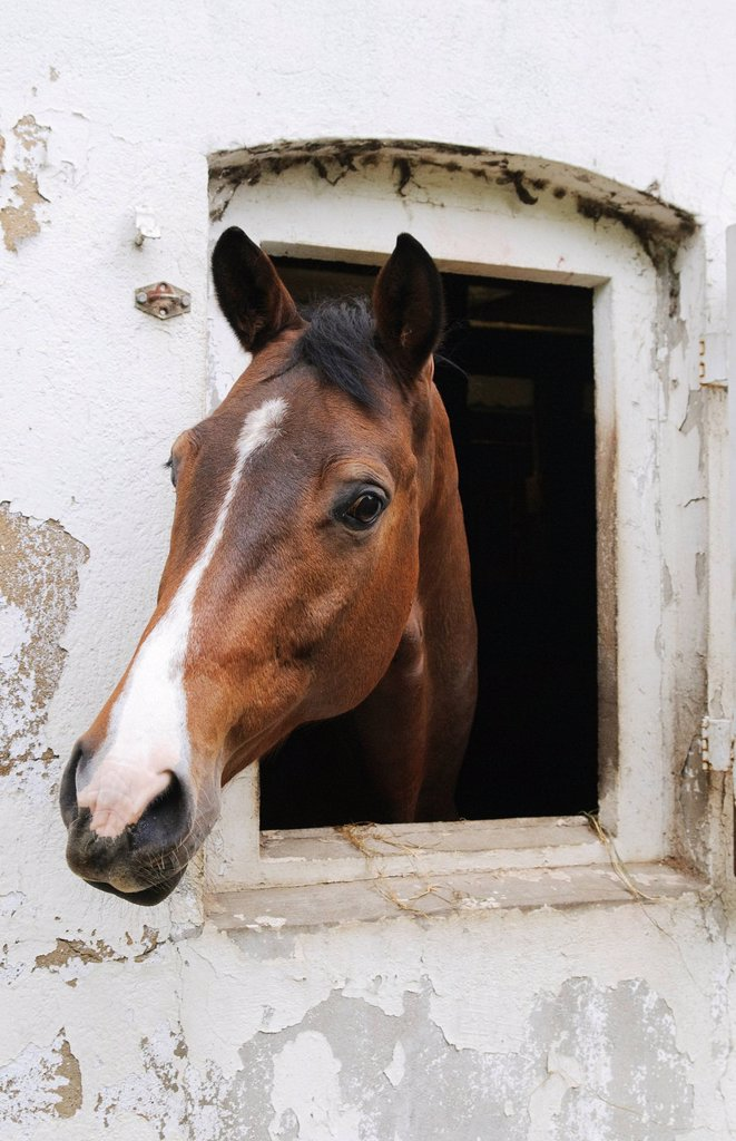 A horse looking out of its stable : Stock Photo