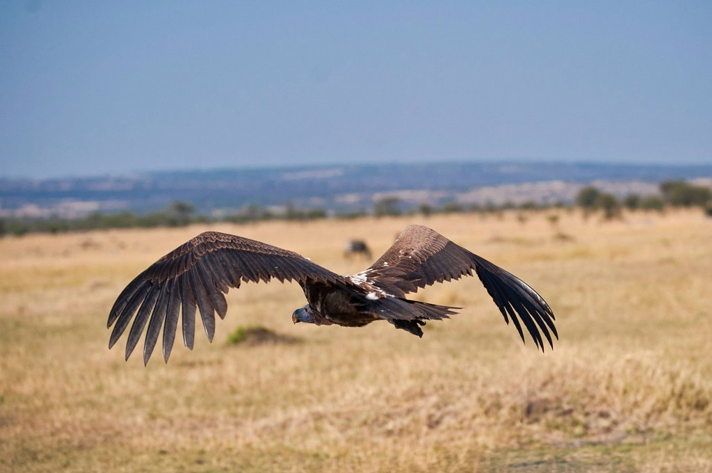 Stock Photo: 1848R-518744 White_backed Vulture Gyps africanus, Serengeti National Park, Tanzania, Africa