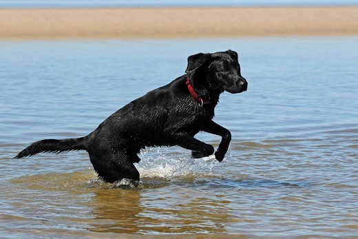 Black Labrador Retriever playing in the water at a dog beach, young male : Stock Photo
