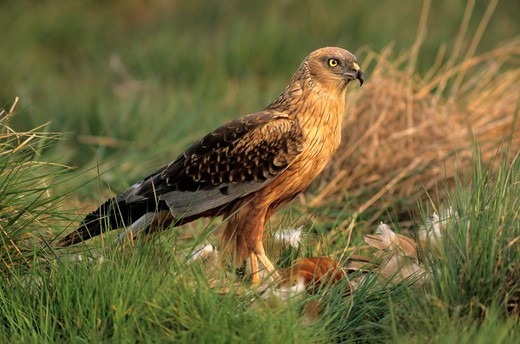 Stock Photo: 1848R-519383 Western Marsh Harrier Circus aeruginosus, male with prey, Hortobagy, Hajdú_Bihar, Hungary, Europe