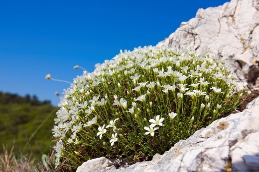 Large Flowered Sandwort Arenaria grandiflora, Alsine grandiflora, Arenaria capillacea, Arenaria abietina, Arenaria grandiflora abietina, Cernohorskya grandiflora in Devin_Kotel_Souteska national sanctuary, Palava protected landscape area, Breclav district : Stock Photo