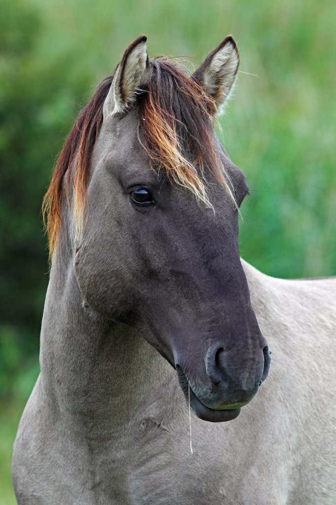 Konik Equus przewalskii f. caballus, stallion, portrait, wild horse, Tarpan re_breeding project : Stock Photo