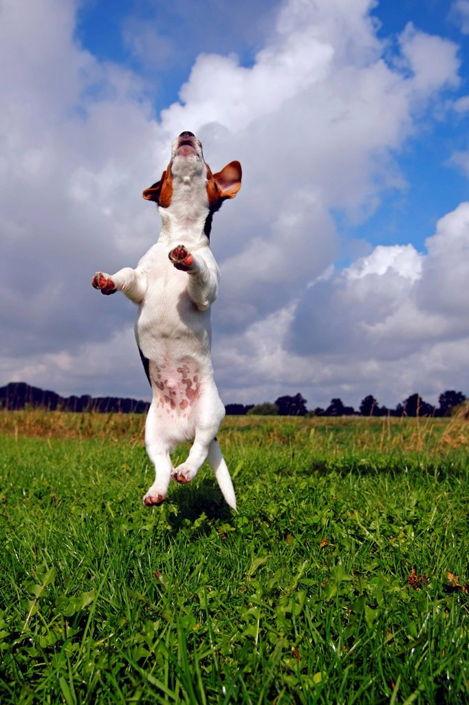 Jumping young Jack Russell Terrier dog Canis lupus familiaris, pup, male, 12 weeks, domestic dog : Stock Photo