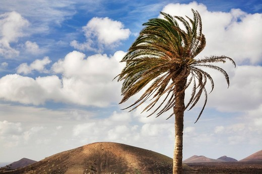 Stock Photo: 1848R-520892 Single palm tree in front of the Fire Mountains, Lanzarote, Canary Islands, Spain, Europe