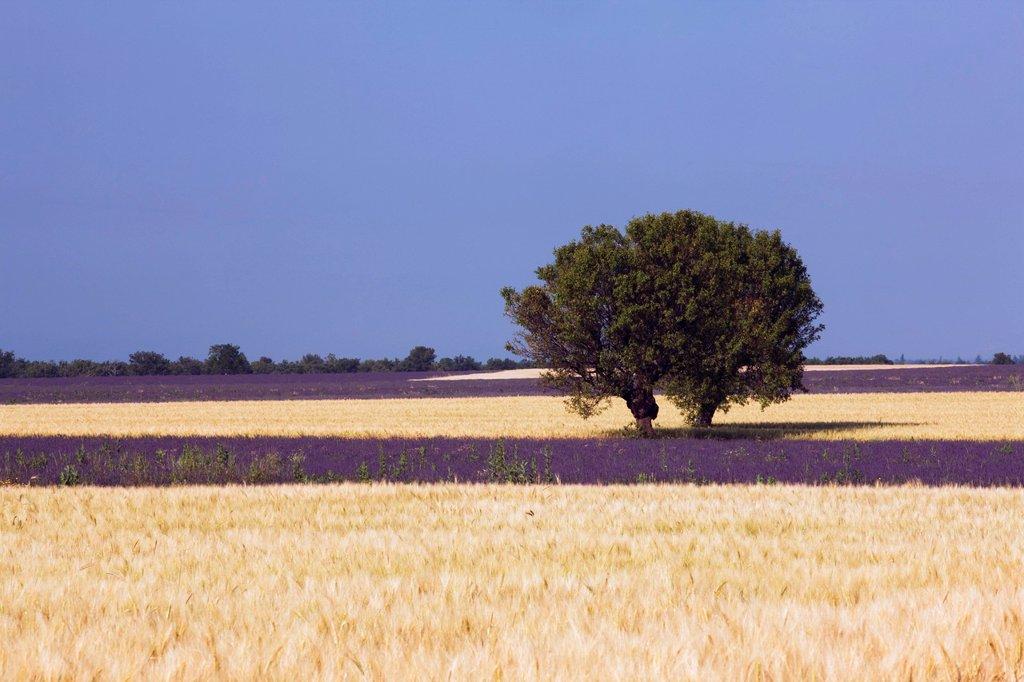 Trees in a corn field, Plateau de Valensole, Département Alpes_de_Haute_Provence, France, Europe : Stock Photo