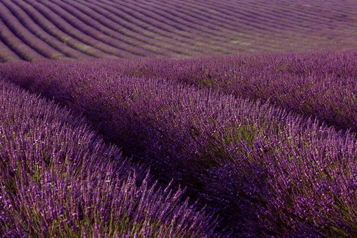 Lavender field Lavandula angustifolia, Plateau de Valensole, Département Alpes_de_Haute_Provence, France, Europe : Stock Photo