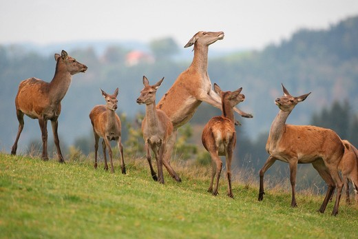 Red deer Cervus elaphus, fighting hinds, Allgaeu, Bavaria, Germany, Europe : Stock Photo