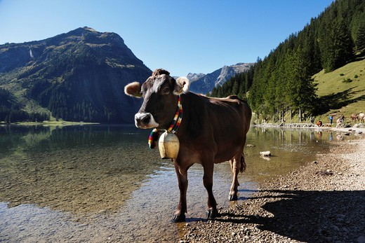Cow with cow bell, cattle drive on Lake Vilsalpsee at Tannheim, Tannheimer Tal high valley, Tyrol, Austria, Europe : Stock Photo