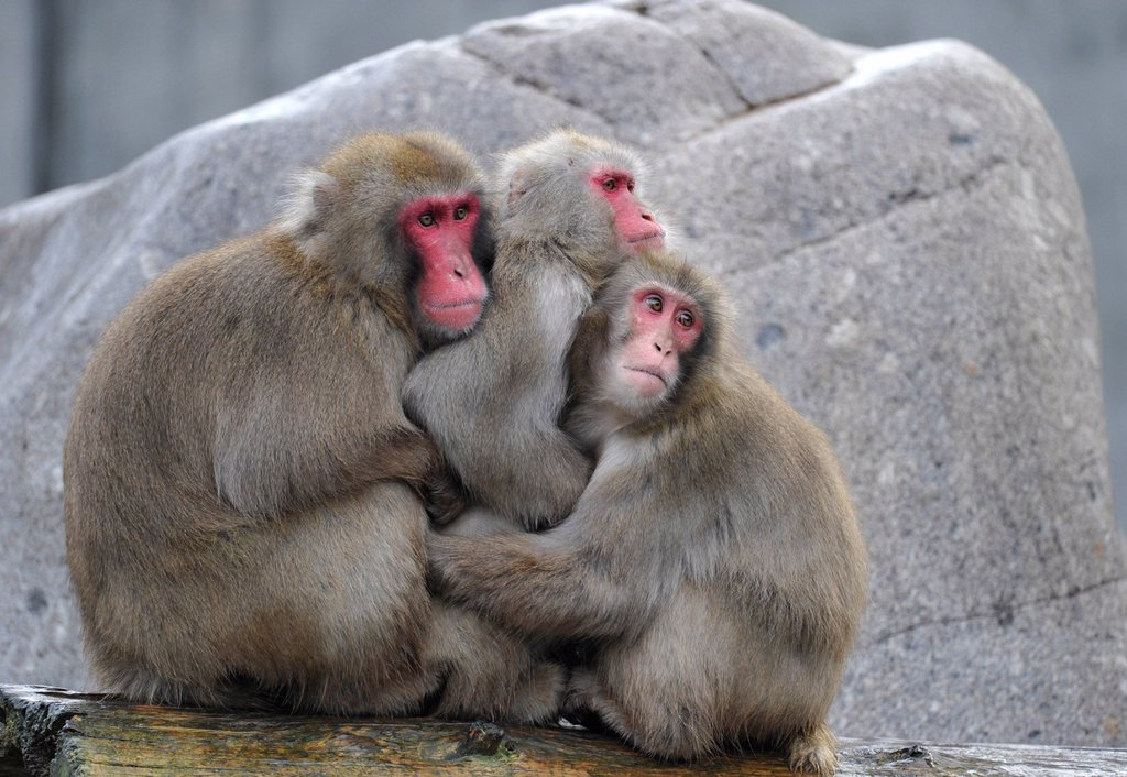 Japanese Macaques or Snow Monkeys Macaca fuscata warming each other : Stock Photo