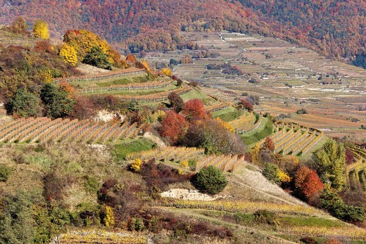Stock Photo: 1848R-522120 Cultivated landscape with vineyards in autumn, Woesendorf, Wachau valley, Waldviertel region, Lower Austria, Austria, Europe