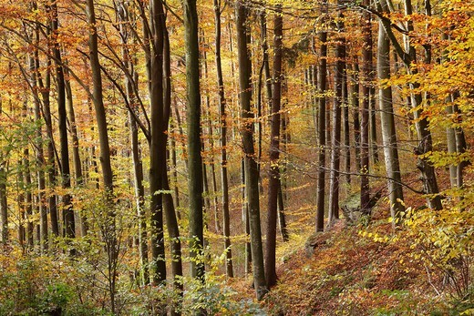 Stock Photo: 1848R-522251 Autumnal deciduous forest, Aggstein, Dunkelsteinerwald area, Wachau, Mostviertel region, Lower Austria, Austria, Europe