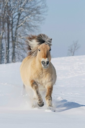 Stock Photo: 1848R-522669 Fjord horse or Norwegian Fjord Horse running in the snow