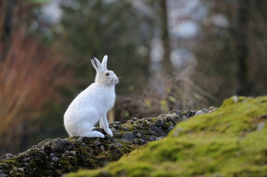 Alpine Hare Lepus timidus varronis in its winter pelage : Stock Photo