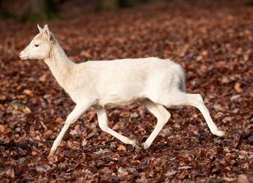 Fallow deer Dama dama, doe : Stock Photo