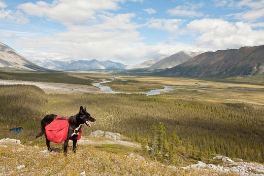 Stock Photo: 1848R-523396 Pack dog, Alaskan Husky, sled dog, carrying a dog pack, backpack, Wind River and Mackenzie Mountains behind, Yukon Territory, Canada