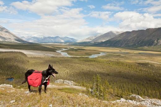 Pack dog, Alaskan Husky, sled dog, carrying a dog pack, backpack, Wind River and Mackenzie Mountains behind, Yukon Territory, Canada : Stock Photo