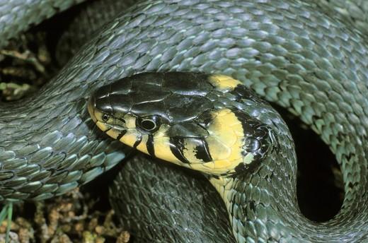 Stock Photo: 1848R-523442 Grass snake Natrix natrix