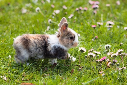 Young Rabbit Oryctolagus cuniculus forma domestica on a flowery meadow : Stock Photo