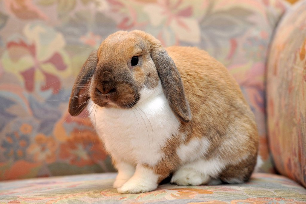 Stock Photo: 1848R-523679 Dwarf lop bunny or rabbit Oryctolagus cuniculus, sitting on a sofa