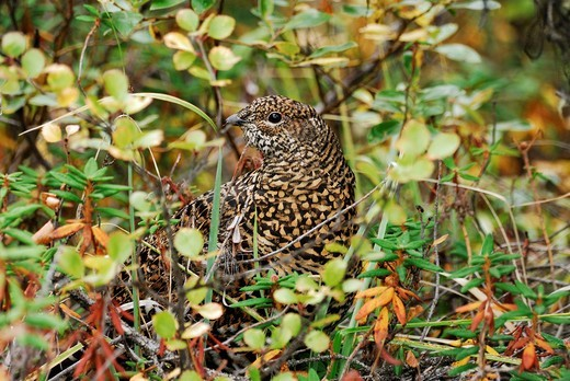 Female Spruce Grouse Falcipennis canadensis, Banff National Park, Alberta, Canada : Stock Photo