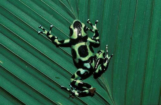 Stock Photo: 1848R-524265 Frog in rainforest _ Coata Rica