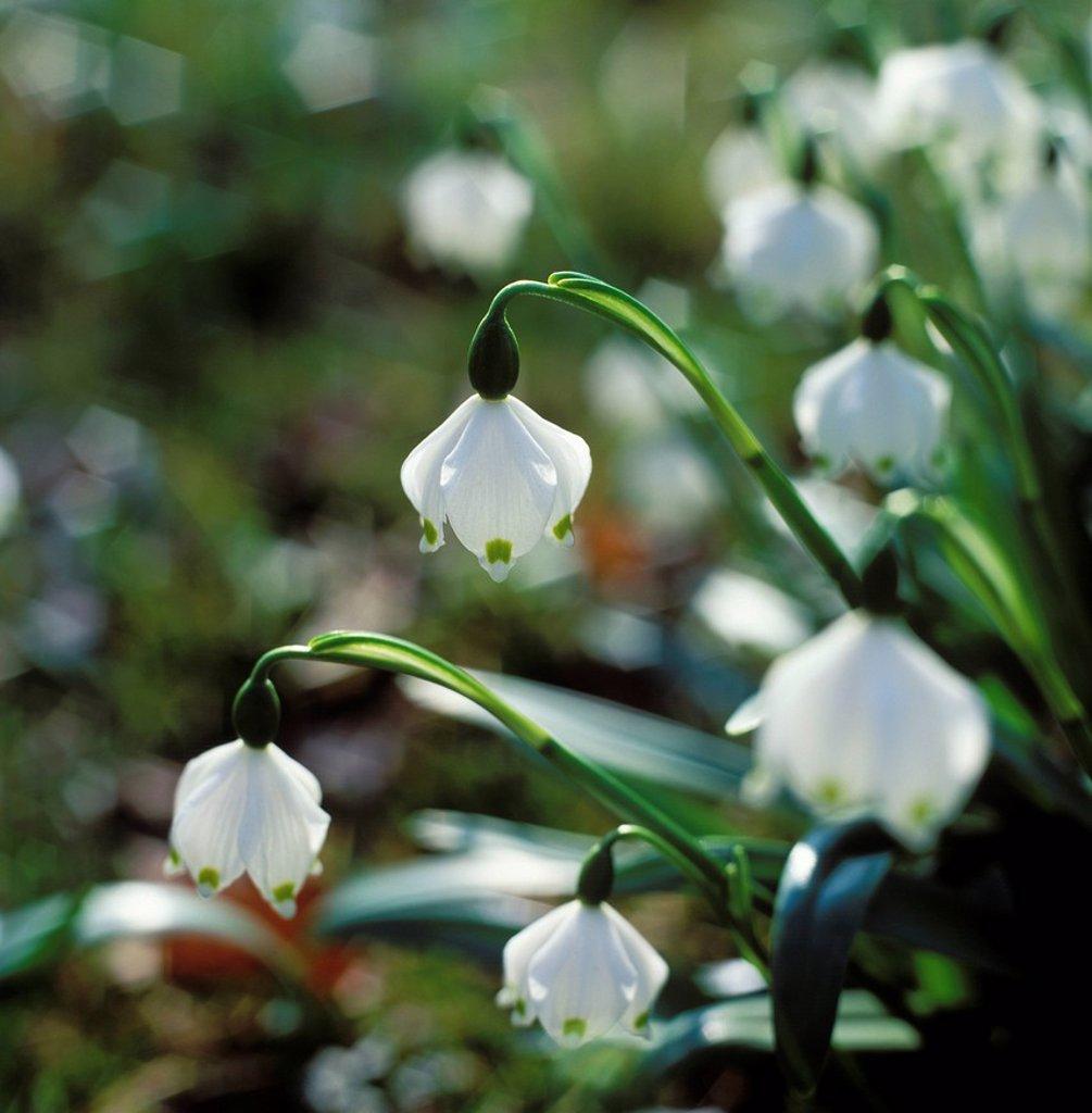 Stock Photo: 1848R-524373 Spring_knot_flower Spring Snowflakes Leucojum vernum