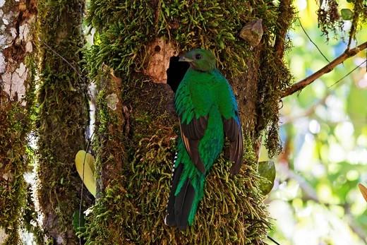 Resplendent Quetzal Pharomachrus mocinno, female at nest, Los Quetzales National Park, Costa Rica : Stock Photo