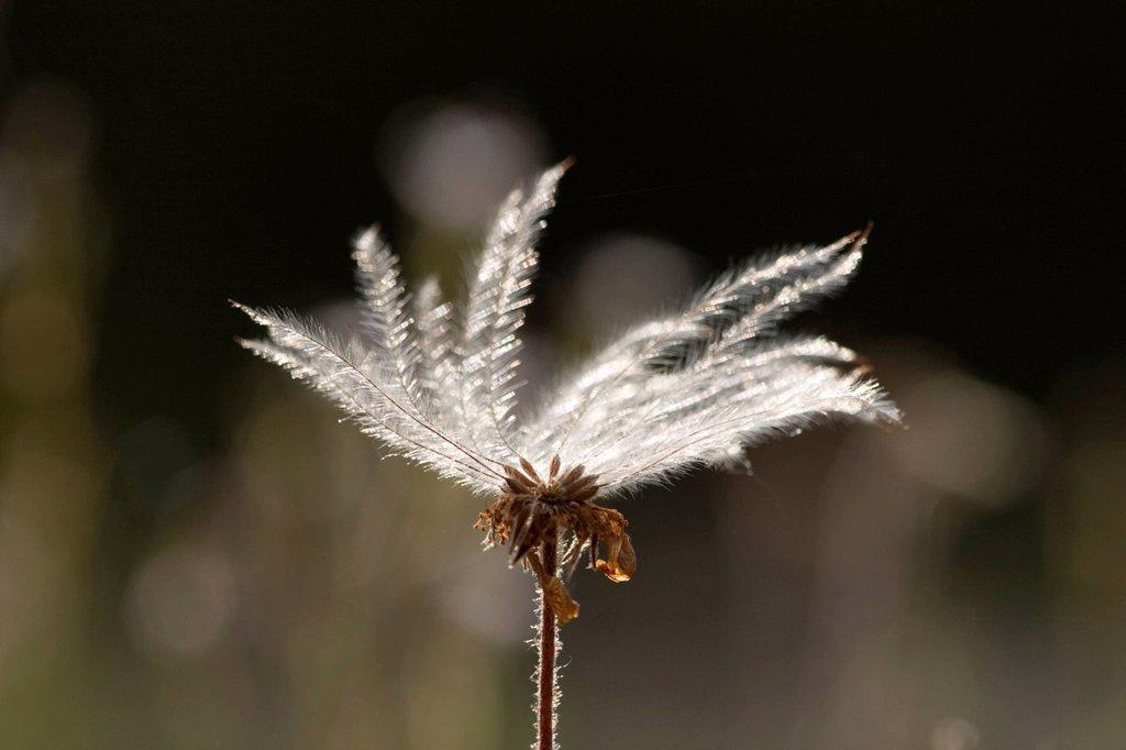 Seeds of Mountain Avens Dryas octopetala Germany : Stock Photo