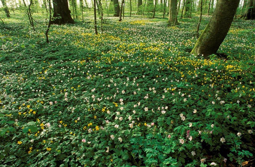 Wood Anemone, Anemone nemorosa, Dalby Hage, Dalby Soederskog National Park, Malmoehus Laen, Skane, Sweden : Stock Photo