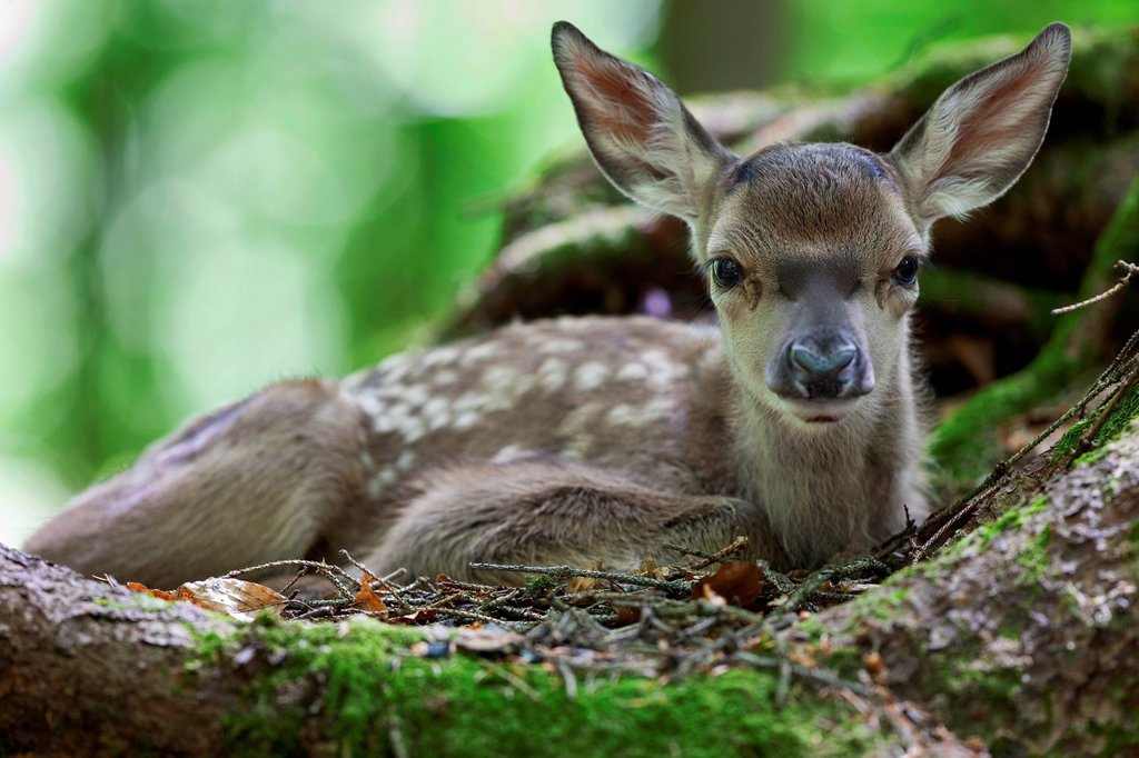 Fallow deer Dama dama, fawn, Neuschoenau outdoor animal enclosure, Bavarian Forest, Bavaria, Germany, Europe, PublicGround : Stock Photo