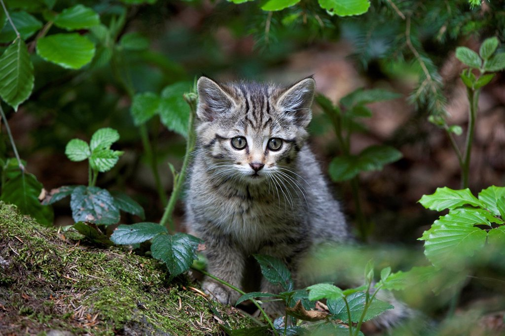 Stock Photo: 1848R-623327 Young wildcat Felis silvestris, Neuschoenau outdoor animal enclosure, Bavarian Forest, Bavaria, Germany, Europe, PublicGround