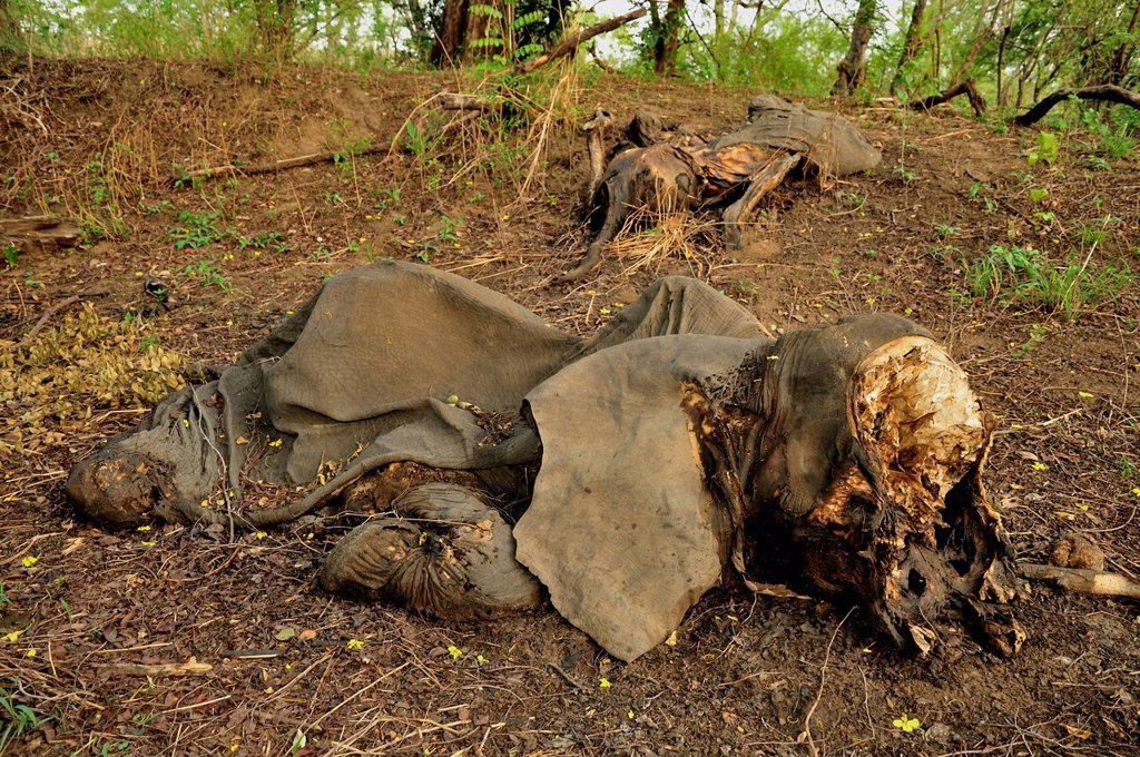 Stock Photo: 1848R-623574 One of the elephants killed by Sudanese poachers on 5 March 2012, Bouba_Ndjida National Park, Cameroon, Central Africa, Africa