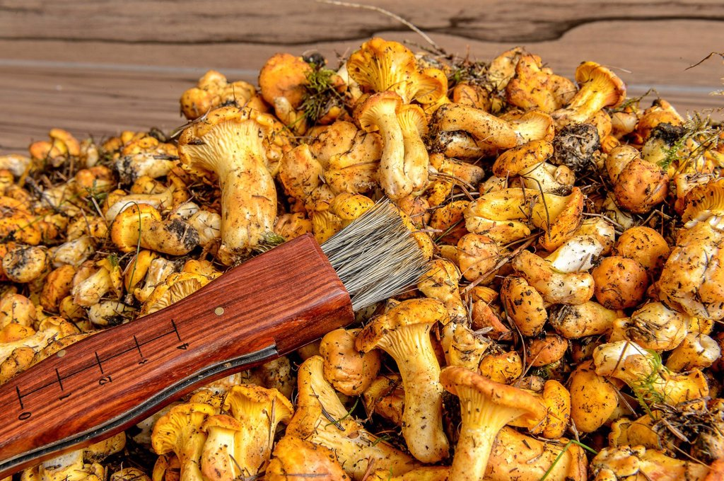 Stock Photo: 1848R-625528 Fresh chanterelles or golden chanterelles Cantharellus cibarius, uncleaned, with a mushroom brush
