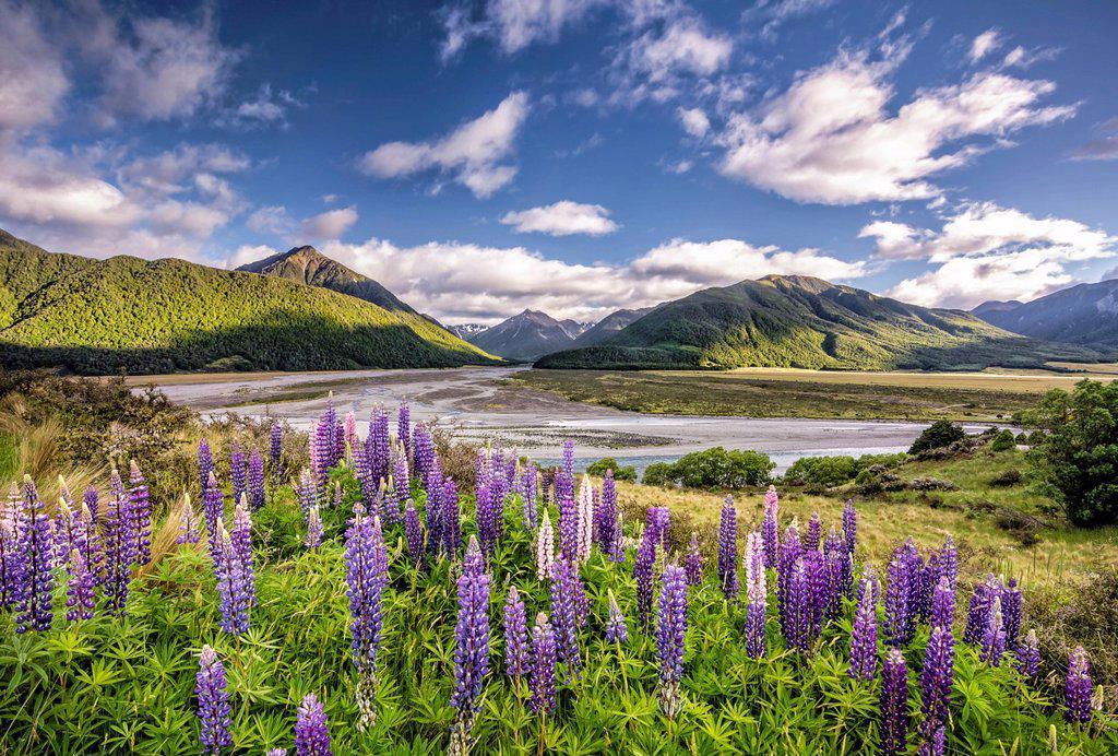 Lupines Lupinus on the Waimakariri River, Craigieburn Range, Canterbury, South Island, New Zealand, Oceania : Stock Photo