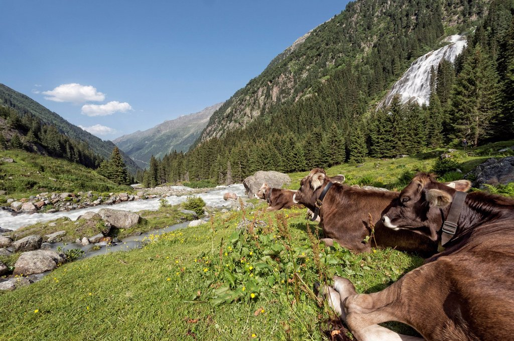 Stock Photo: 1848R-625574 Tyrolean Brown Cattle, cows without horns ruminating, Grawa Alm, mountain pasture, Stubai Valley, Tyrol, Austria, Europe