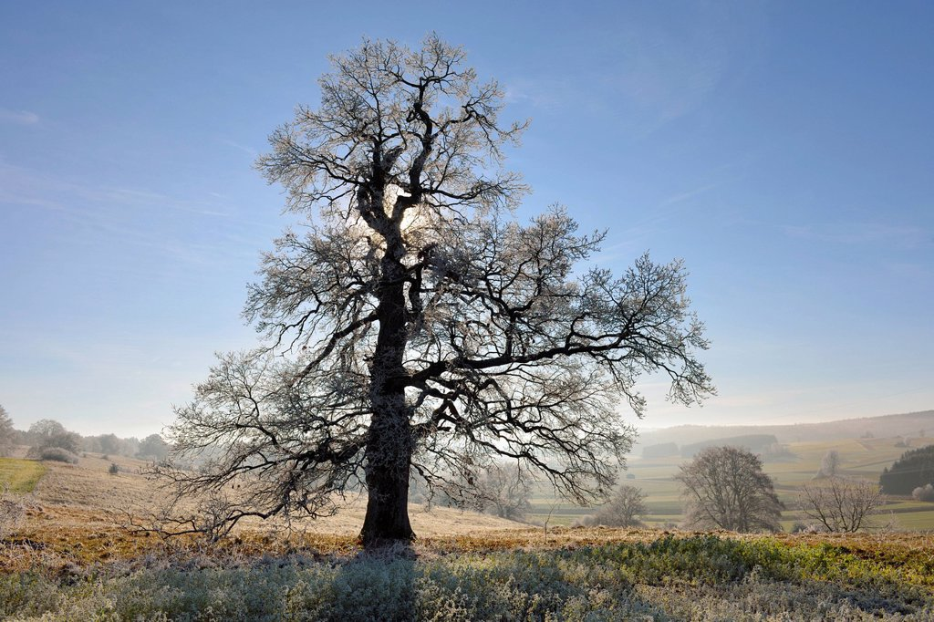 Stock Photo: 1848R-632259 English oak, pedunculate oak Quercus robur, winter landscape with hoar_frost, Swabian Alps, Baden_Wuerttemberg, Germany, Europe