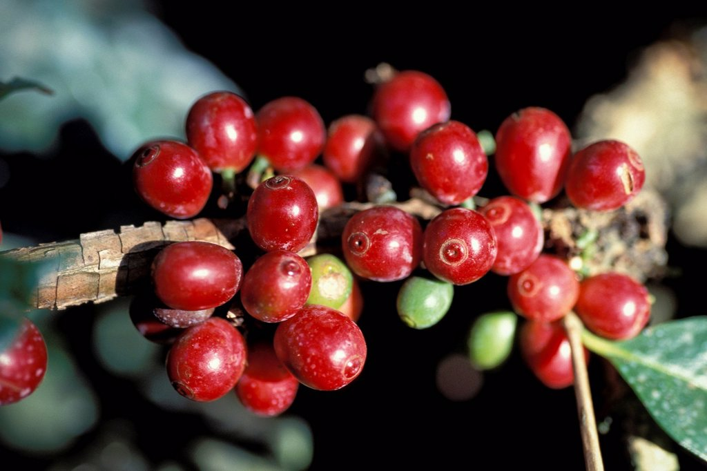 Stock Photo: 1848R-632329 Ripe coffee beans or cherries on a coffee plant Coffea, Kerala, South India, India, Asia