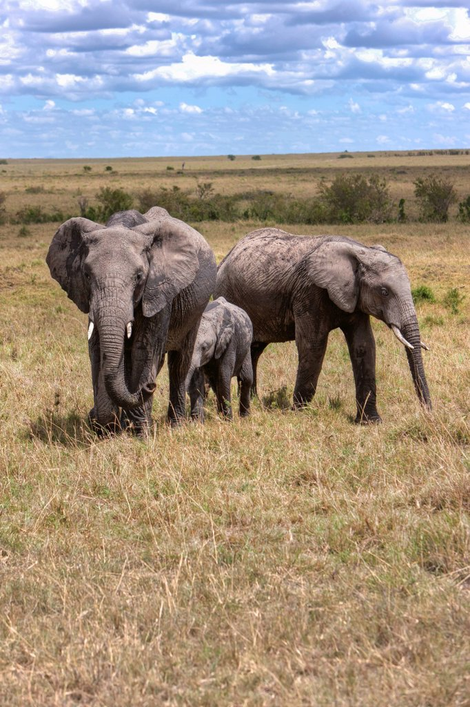 Stock Photo: 1848R-632851 Family of African Bush Elephants Loxodonta africana, Masai Mara National Reserve, Kenya, East Africa, Africa, PublicGround