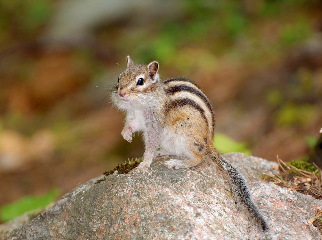 Siberian chipmunk, Common chipmunk Eutamias sibiricus, Baikal, Siberia, Russian Federation, Eurasia : Stock Photo