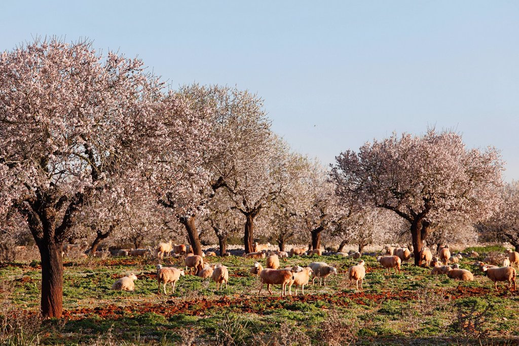 Stock Photo: 1848R-632973 Blossoming almond trees Prunus dulcis, Campos, Majorca, Balearic Islands, Spain, Europe