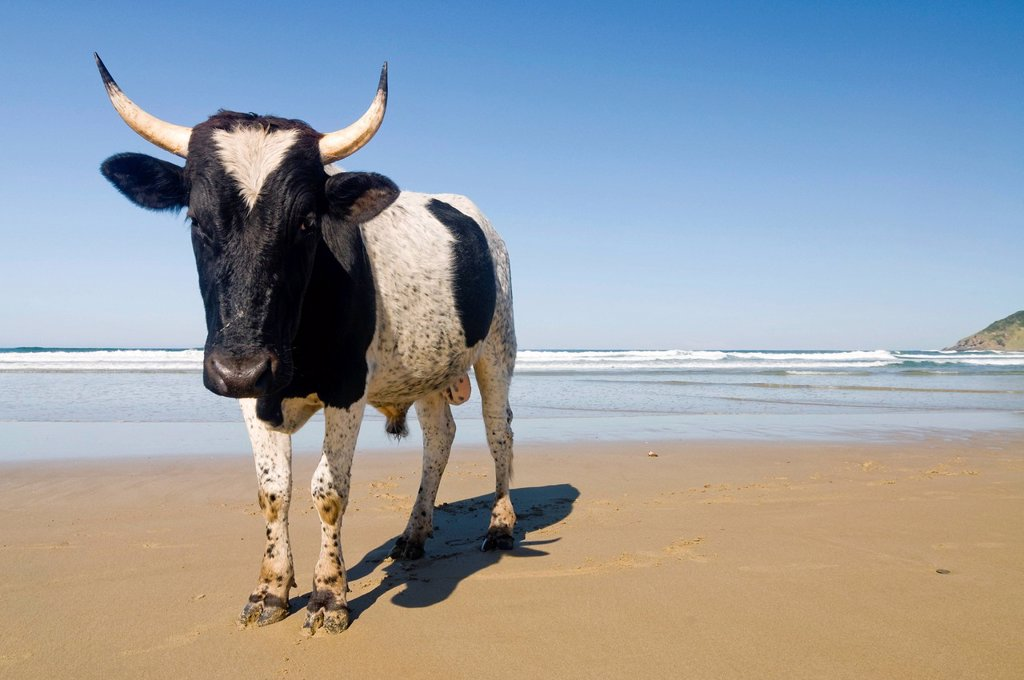 Stock Photo: 1848R-635098 Cow on a beach, Wild Coast or Transkei, Eastern Cape, South Africa, Africa