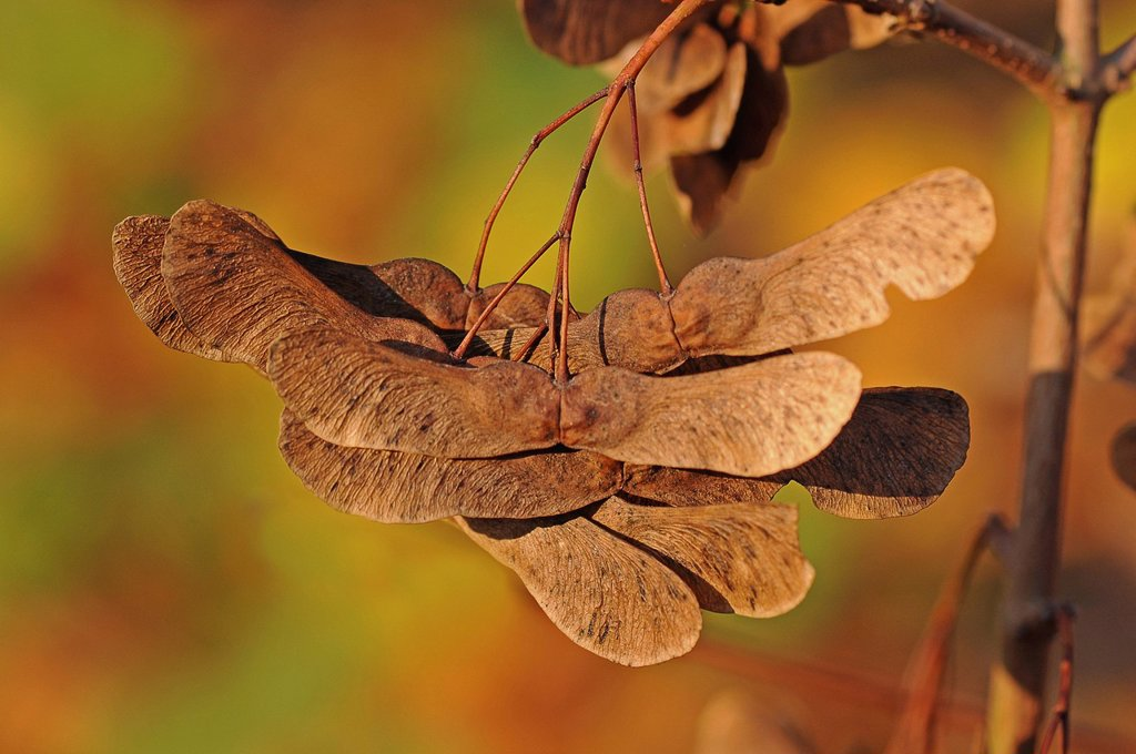 Stock Photo: 1848R-635436 Seeds of a maple or a sycamore Acer