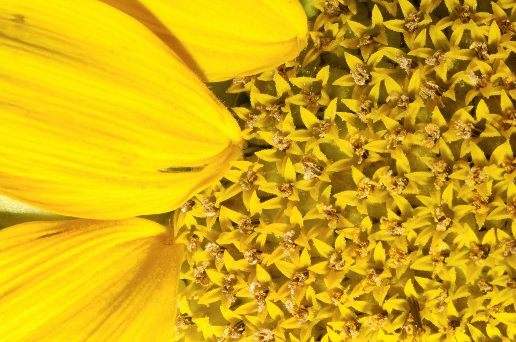 Sunflower Helianthus annuus, close_up, Odessa, Ukraine, Eastern Europe : Stock Photo