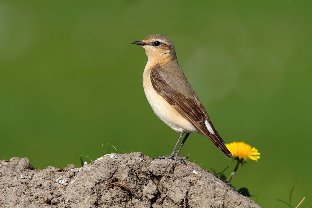 Wheatear Oenanthe oenanthe : Stock Photo