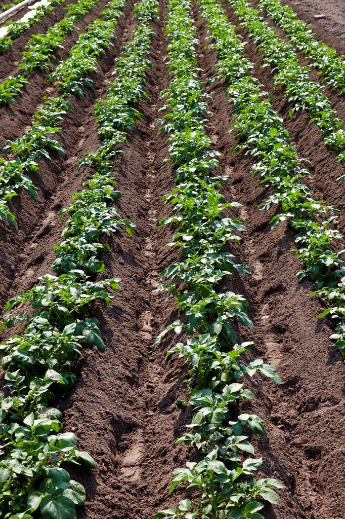 Stock Photo: 1848R-636993 Potatoes, potato field